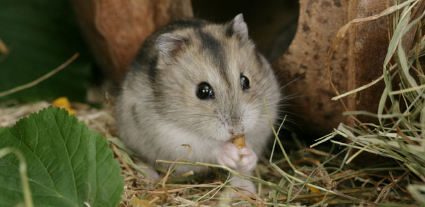 Hamster.ru - почти все о хомяках
