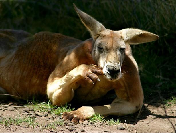 В Австралии самка кенгуру сбила беспилотник