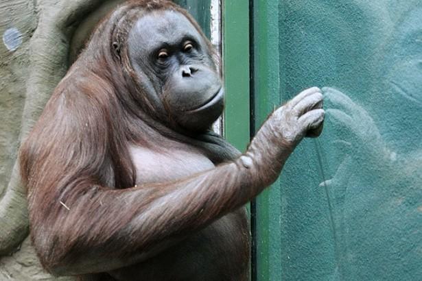 Суд наделил самку орангутанга правами человека