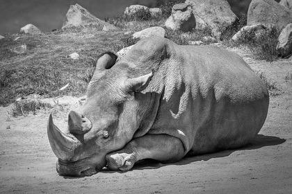 Скончался последний самец северного белого носорога.  Фото: @sdzsafaripark / Twitter