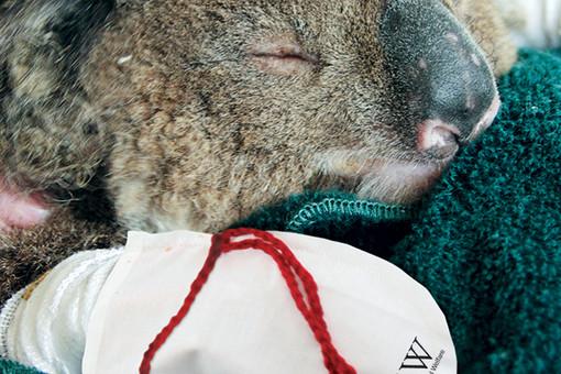Международный фонд защиты животных призывает шить варежки для получивших ожоги коал