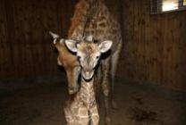 """В парке львов """"Тайган"""" родился жираф"""