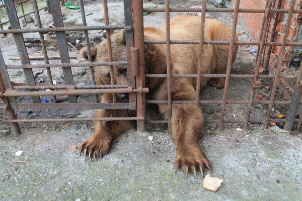 """Сочинским """"пьющим"""" медведям нашли дом в Румынии"""