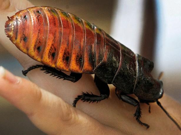 Зоопарк Сан-Франциско предлагает тем, кому не повезло в любви, проявить заботу о тараканах