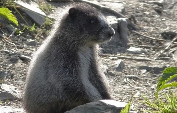 Сурок Фрол из Ленинградского зоопарка предсказал раннюю весну