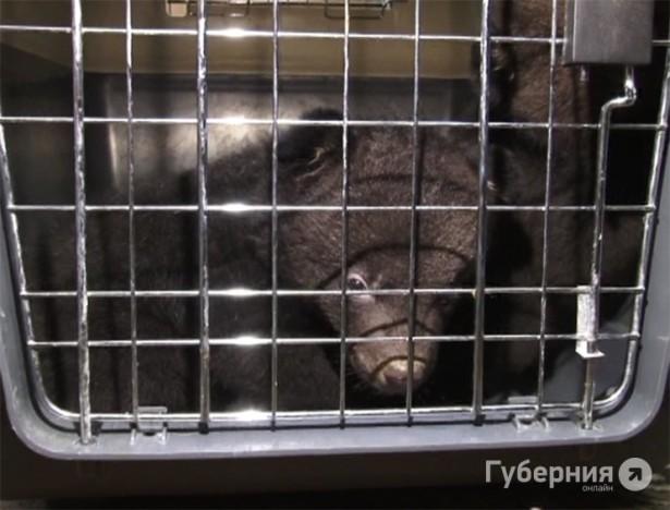 Медвежат-подкидышей временно приютит зоосад под Хабаровском