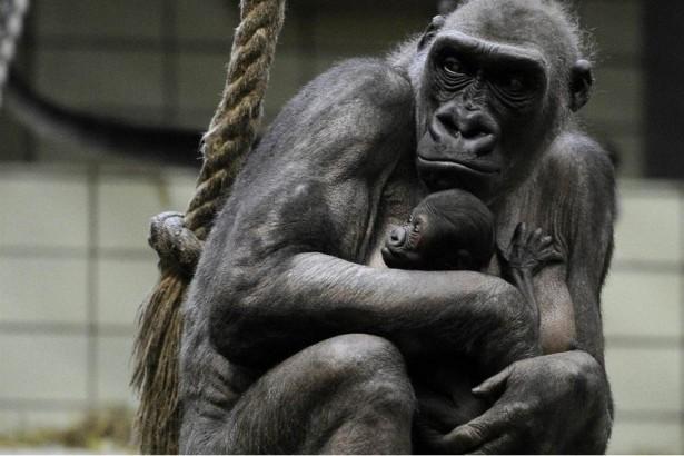 Ученые: Самцы горилл не видят разницы между своими и чужими детенышами