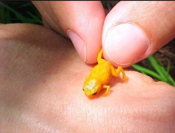 Зоологи нашли в лесах Бразилии семь видов ярких нано-жаб