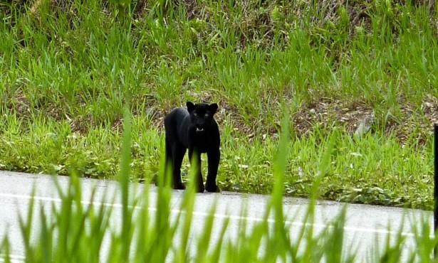 Ученые: Черный леопард прятал свои пятна