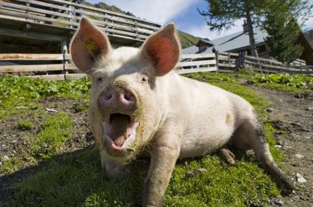 Свинья спасла от медведя село в Чебулинском районе