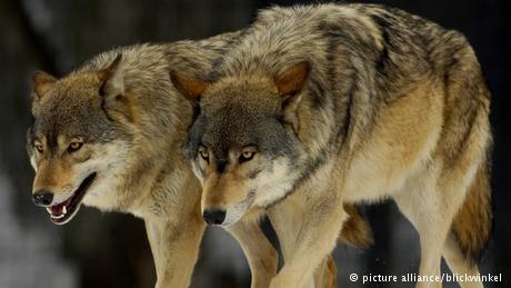 Волки вернулись в Германию