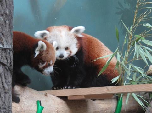 Еще одна красная панда поселилась в столичном зоопарке