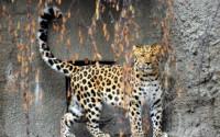 В Московском зоопарке появился дальневосточный леопард