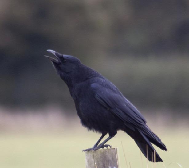 Ассоциация и память: как работает мозг вороны
