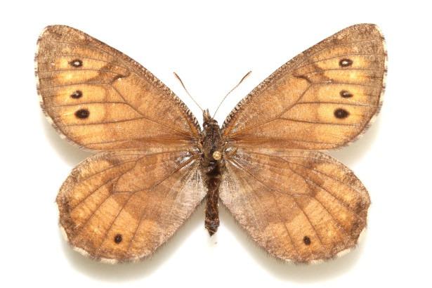 Впервые за 28 лет на Аляске обнаружили новый вид бабоче