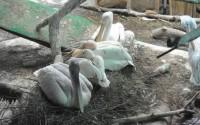 В Московском зоопарке ждут потомство пингвинов и розовых пеликанов
