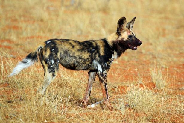 Дикие собаки стали охотиться как гепарды