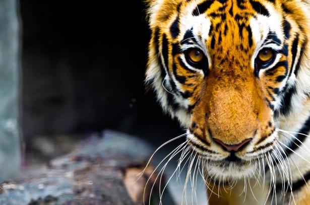 Впервые за сто лет мировая популяция тигров увеличилась