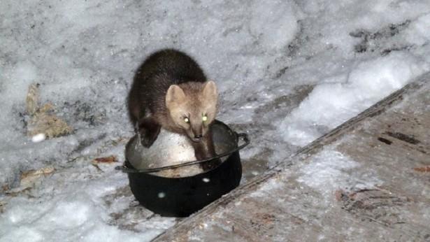 В природном парке на Камчатке орудует соболь-грабитель
