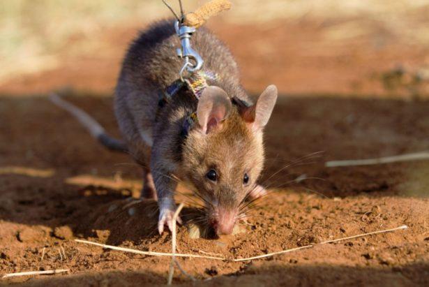 Генетики из США вывели грызунов, которые по запаху находят взрывчатку