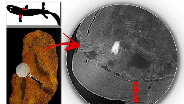 """Рентген поставил под сомнение статус """"первого животного Земли"""""""