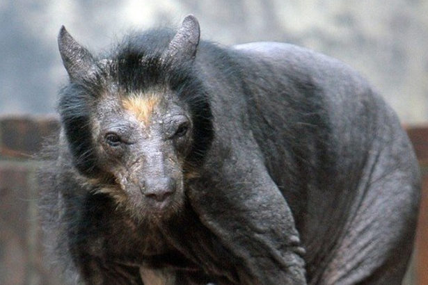 Пойманная в Индии «чупакабра» оказалась облысевшим малайским медведем