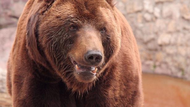 Медведь разгуливал по деревне в Раменском районе