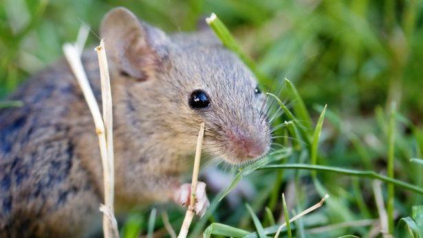 Ученые в Японии провели успешную пересадку iPS-клеток редким животным