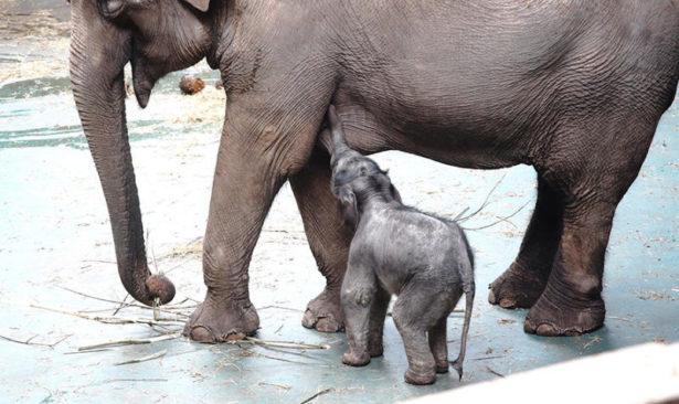 Детеныш азиатского слона родился в Московском зоопарке