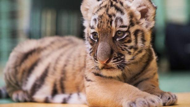Московский зоопарк отмечает Международный день тигра