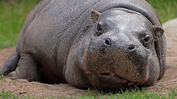 Бегемот появился в Московском зоопарке впервые за почти 50 лет