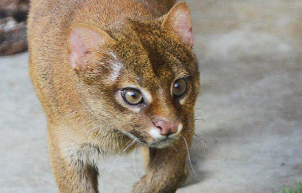 В Екатеринбургский зоопарк привезли парочку глазастых ягуарунди из Новосибирска