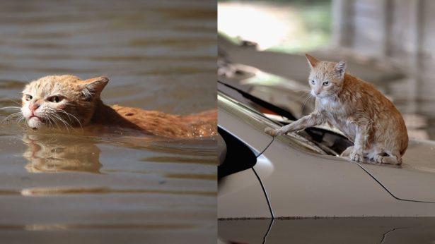 Обозленный из-за наводнения рыжий кот стал мемом