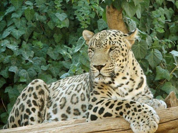 Считавшийся вымершим леопард попал на видео в Северной Осетии