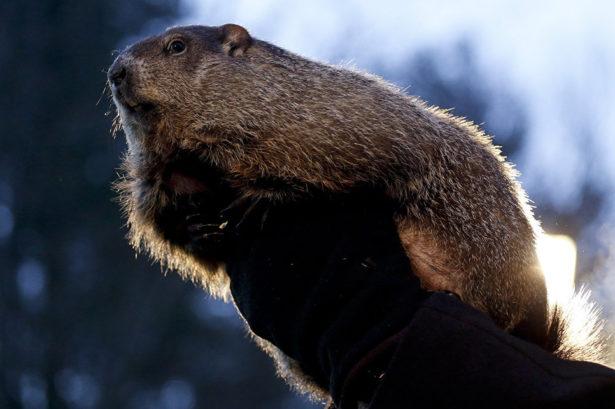 Сурки Ленинградского зоопарка спят и не будут давать прогнозов