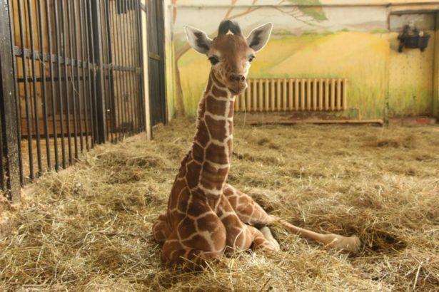 Калининградский зоопарк дарит жирафенка Сафари Белгороду