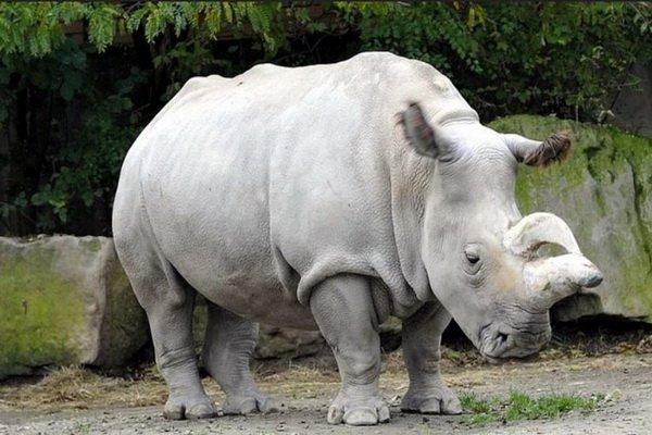Учёные нашли способ восстановить вымирающую популяцию белых носорогов