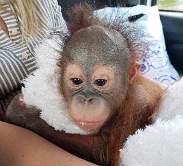 Детеныш борнейского орангутана появился в Московском зоопарке