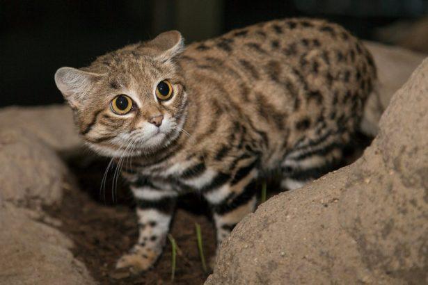 В Африке живет миниатюрная, но смертоносная кошка. Опаснее леопарда и льва